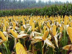 农业部资讯:我们已做到中国粮主要用中国种,能自给自足