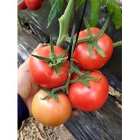 宣化西红柿种苗 大粉西红柿育苗场